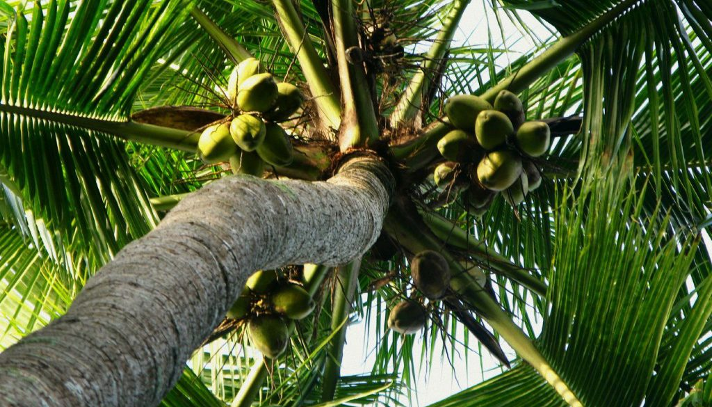 palm-tree-with-coconuts