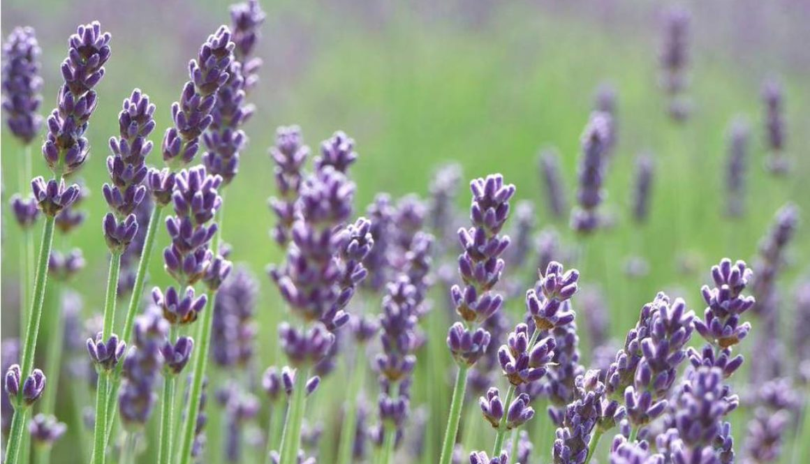 Wild_Lavender_Flowers_Wallpaper_phvjj